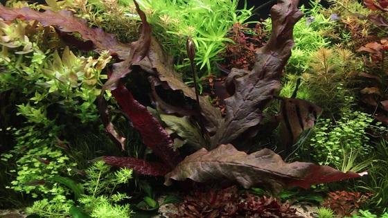 Аквариумное растение Barclaya longifolia