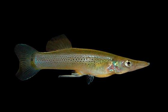 Рыбка Белонесокс