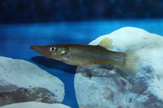 Belonesox belizanus