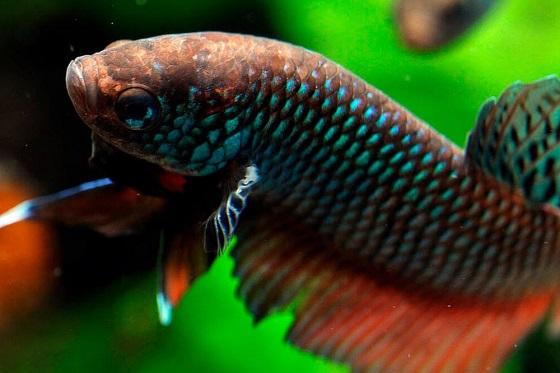 Рыбка Бетта смарагдовая
