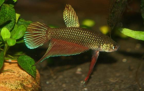 Рыбка Betta smaragdina