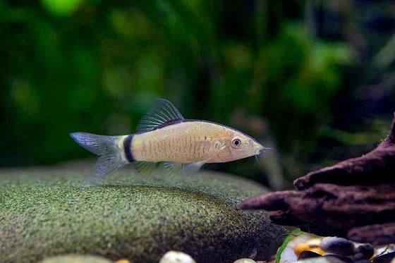 Рыбка Botia morleti