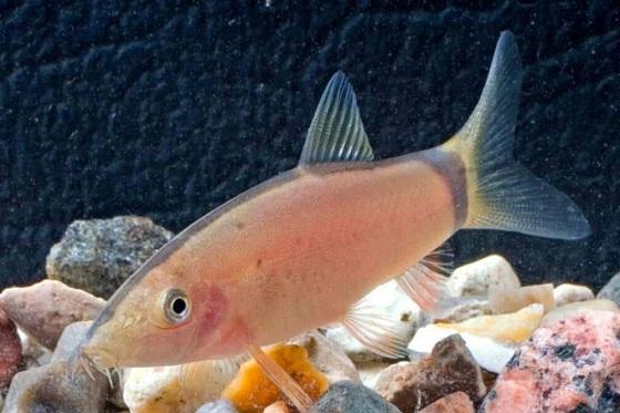 Рыбка Боция Морлета