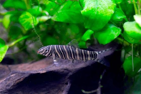Боция-зебра