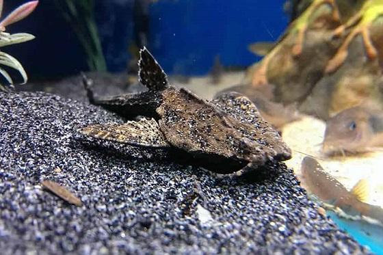 Рыбка Буноцефал