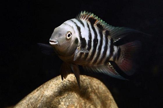 Цихлазома чернополосая в аквариуме