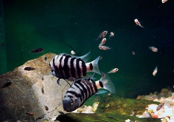 Cichlasoma nigrofasciatum в аквариуме