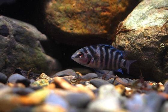 Рыбка Cichlasoma nigrofasciatum