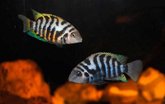 Рыбка Цихлазома чернополосая