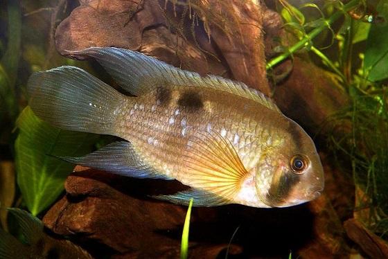 Акара Марони в аквариуме