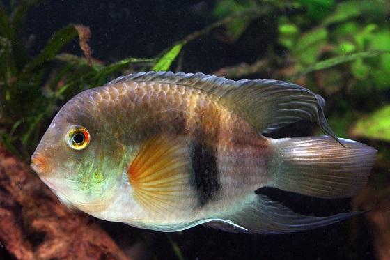 Акара маронийская в аквариуме