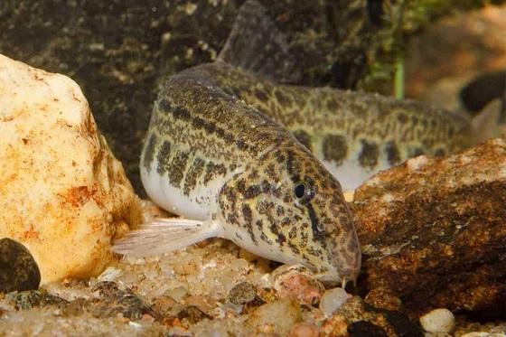 Cobitis taenia в акваруиме