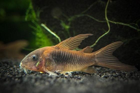 Сомик золотистый в аквариуме