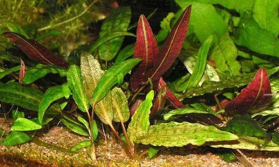 Криптокорина пурпурная - Cryptocoryne purpurea