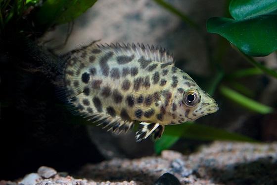 Ктенопома леопардовая в аквариуме