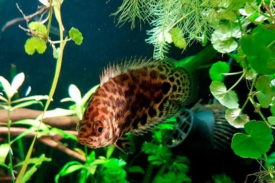 На фото Ctenopoma acutirostre в аквариуме