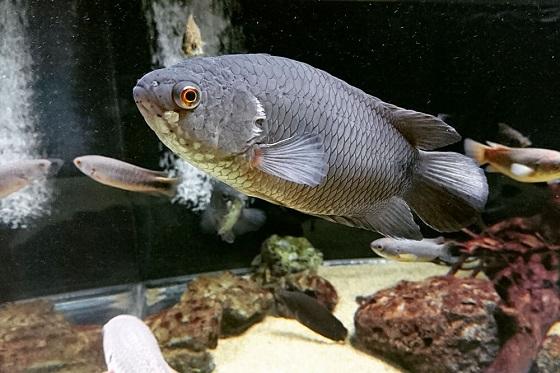 Ctenopoma kingsleyae