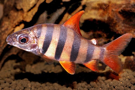 Дистиходус-зебра - Distichodus sexfasciatus