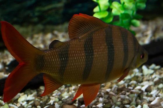 Рыбка Дистиходус шестиполосый
