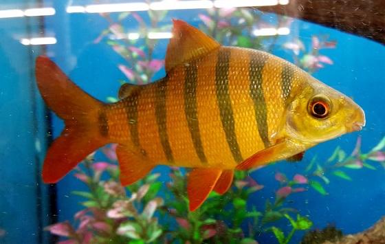 Рыбка Дистиходус-зебра