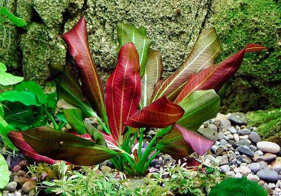Эхинодорус большой - Echinodorus barthii