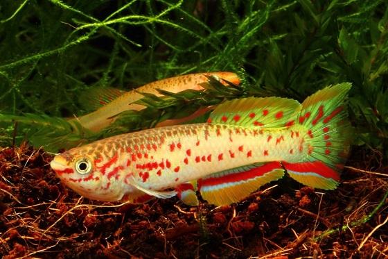 Рыбка Афиосемион Гарднера