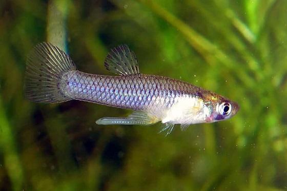 Гамбузия - Gambusia affinis