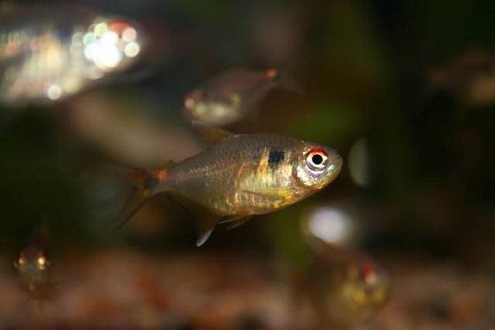 Аквариумная рыбка Тетра-фонарик