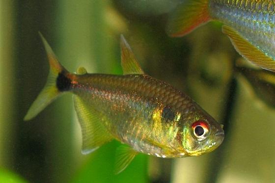 Рыбка Hemigrammus ocellifer