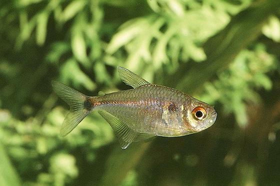 Рыбка Тетра-фонарик - Hemigrammus ocellifer