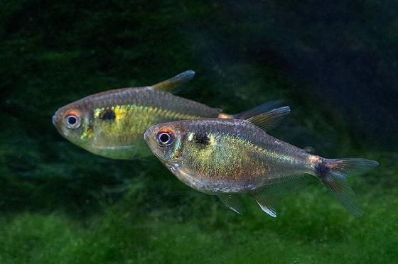 Hemigrammus ocellifer в аквариуме