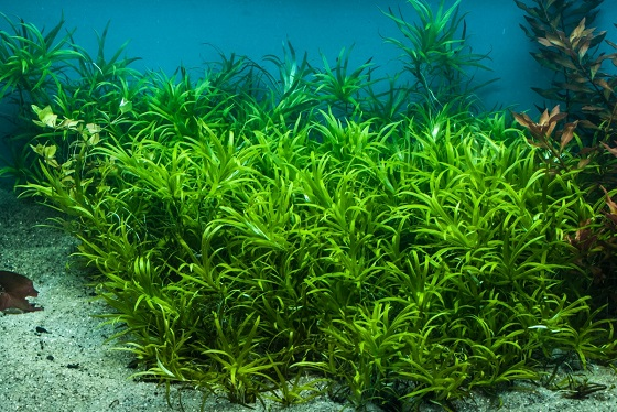 Heteranthera zosterfolia в аквариуме