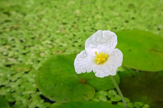 Растение Водокрас лягушачий