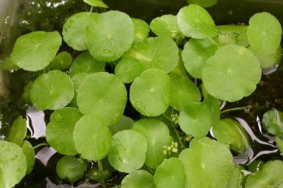 Водяной пупок - Hydrocotyle verticillata