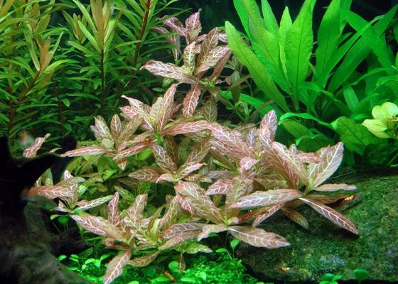 Hygrophila polysperma в аквариуме