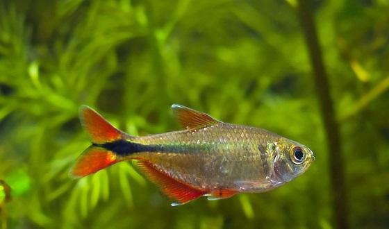 Рыбка Тетрагоноптерус - Hyphessobrycon anisitsi