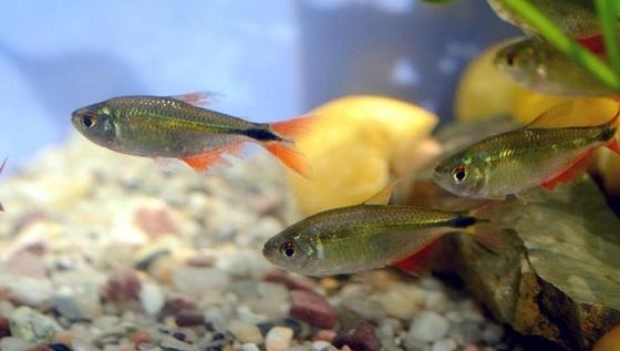Тетрагоноптерус - Hyphessobrycon anisitsi