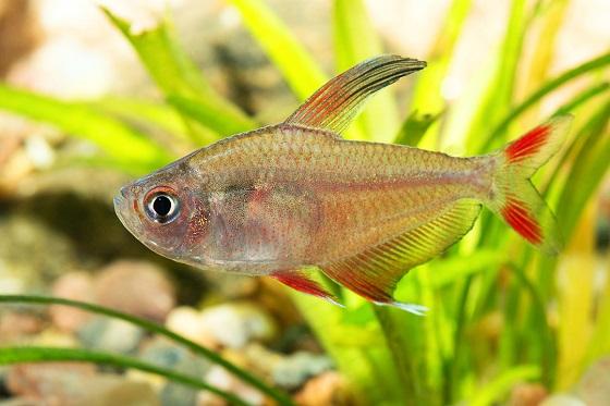 Рыбка Орнатус обыкновенный