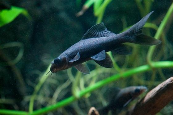 Рыбка Лабео черный