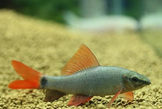Рыбка Лабео зеленый