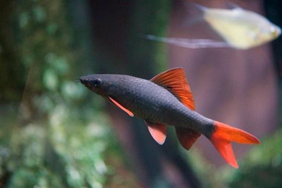 Рыбка Labeo frenatus