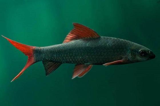 Labeo frenatus в аквариуме