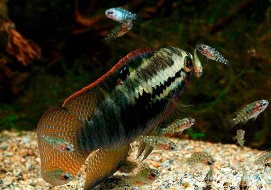 Laetacara dorsigera в аквариуме