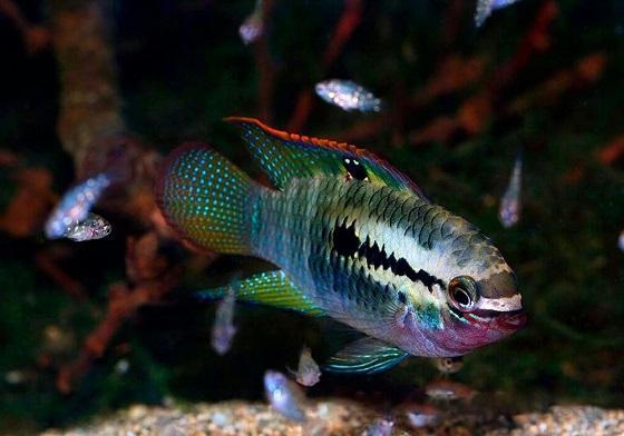 Рыбка Акара красногрудая