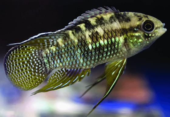Акара курвицепс в аквариуме