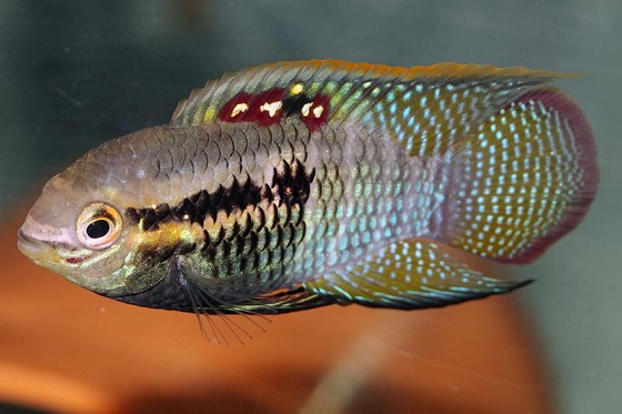 Цихлида Laetacara curviceps