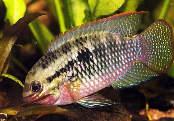 Рыбка Акара красногрудая - Laetacara dorsigera