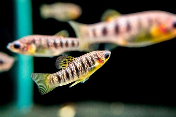 Аквариумная рыбка Лимия чернополосная