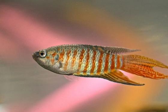 Райская рыбка - Macropodus opercularis