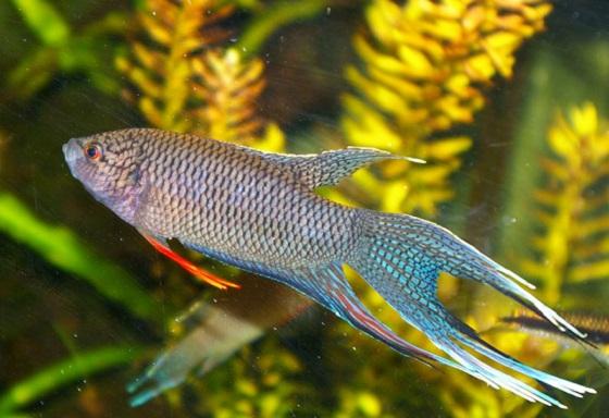 Макропод или Райская рыбка